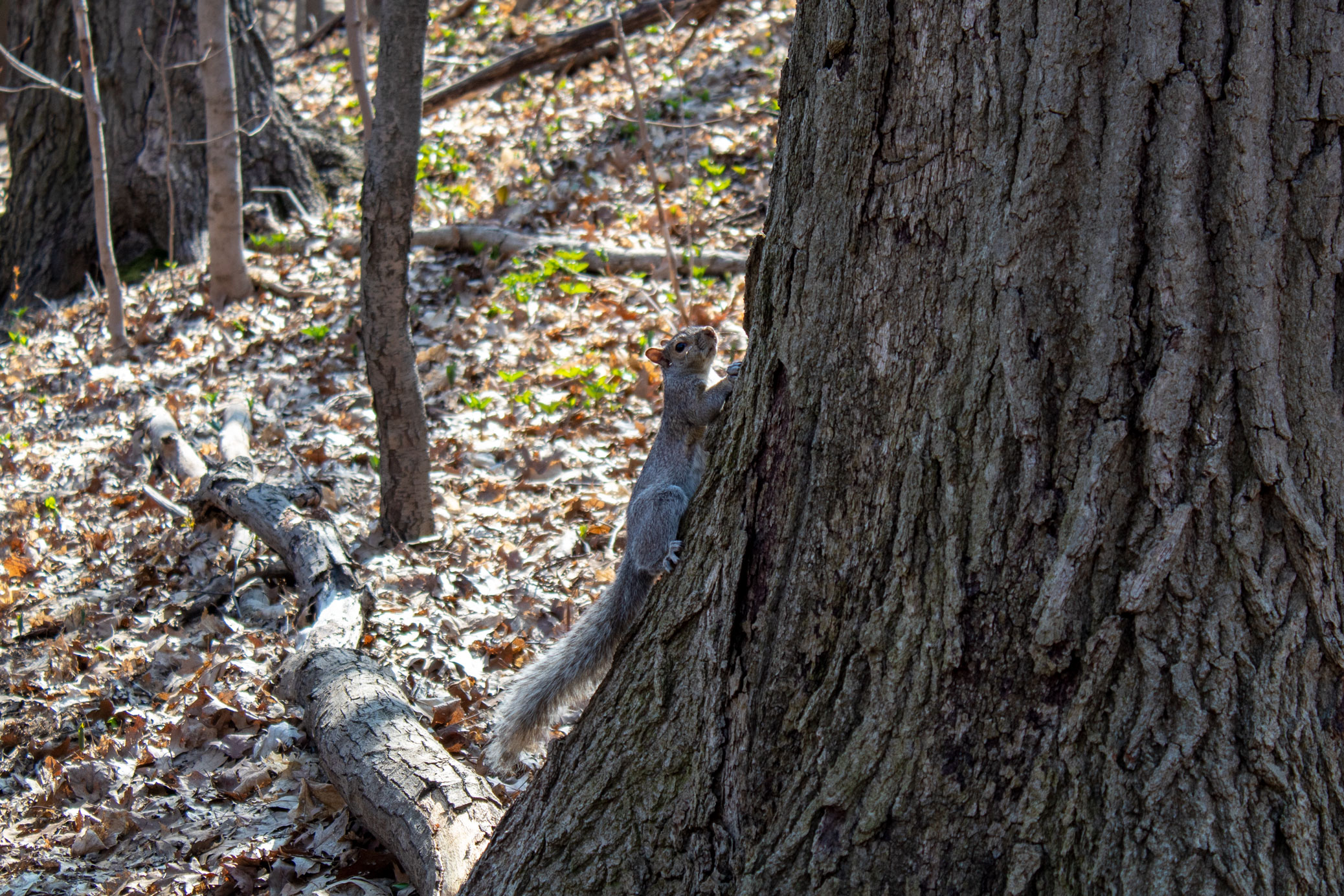 Squirrel clinging to the side of a tree in the woods