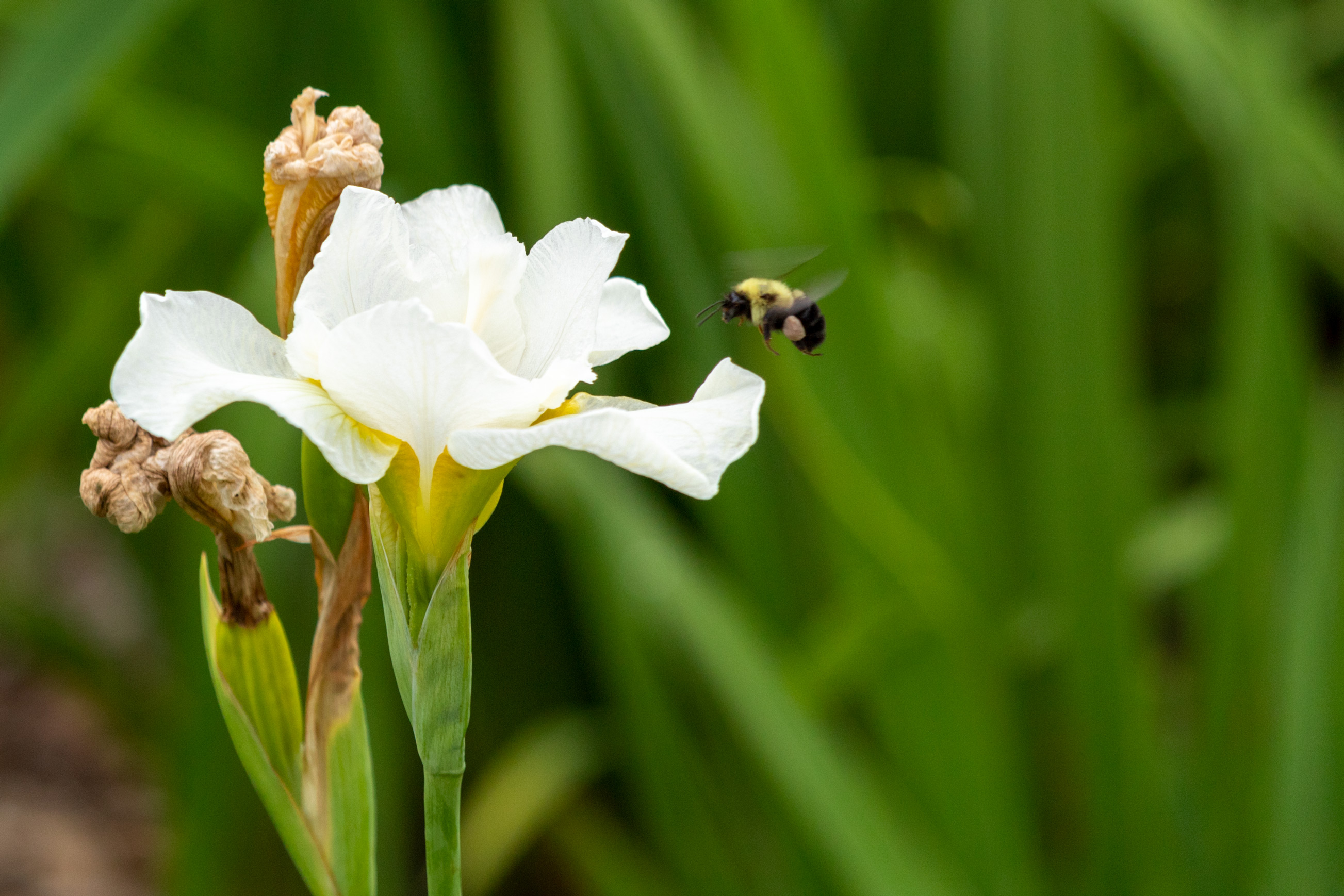 Bumble bee flying towards a white iris