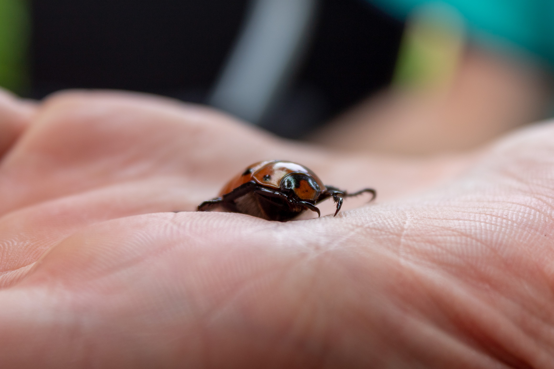 Large orange beetle with black spots sitting on an open hand viewed from the side