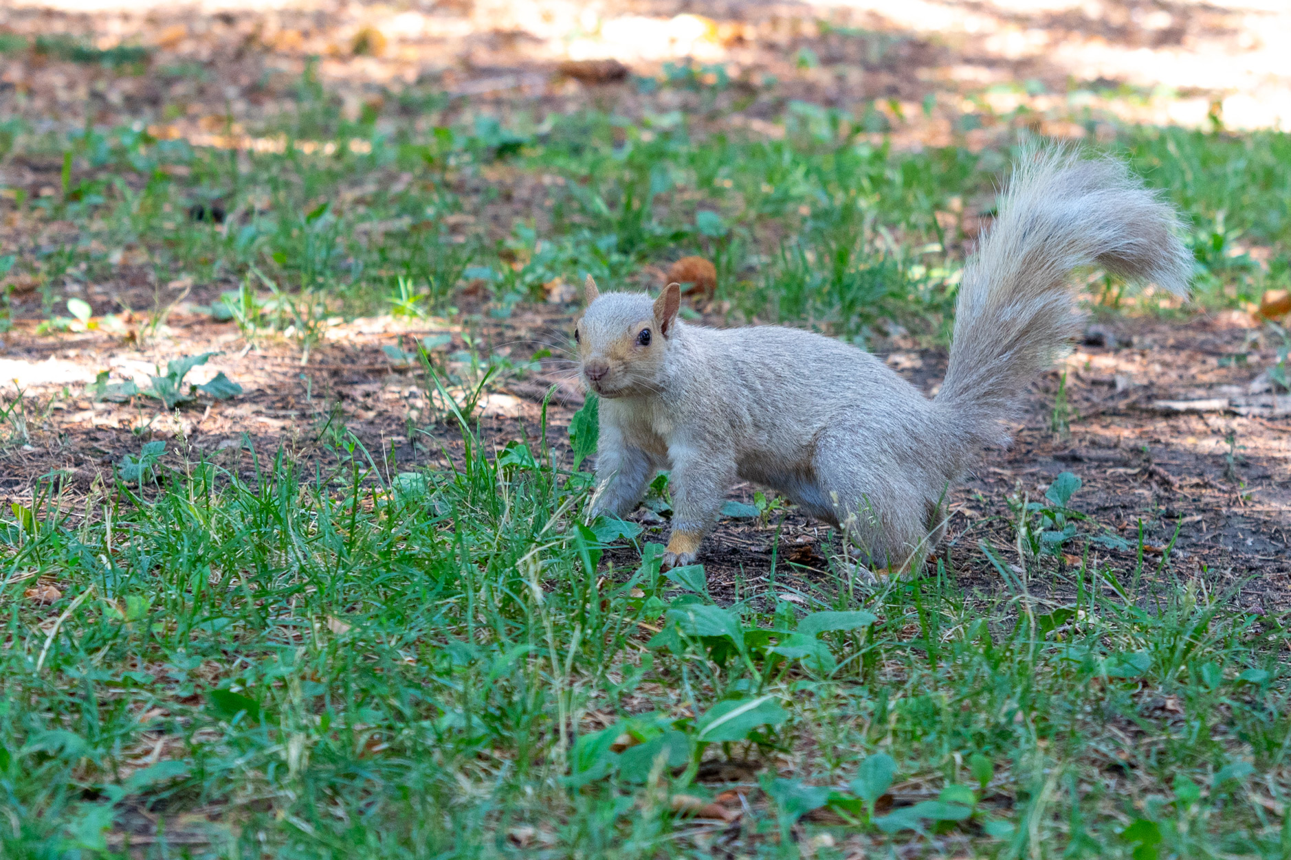 White squirrel with beady black eyes crouched on sparse grass