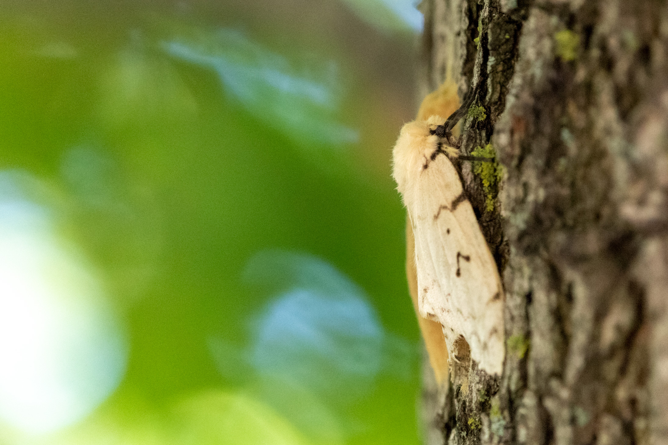 Tan moth with black stripes/spots clinging to tree bark