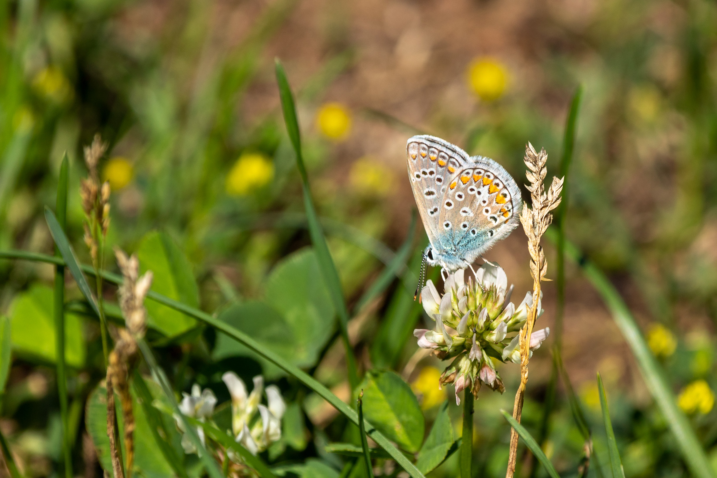 Small butterfly with spotted blue, orange, black and white wings on a clover flower