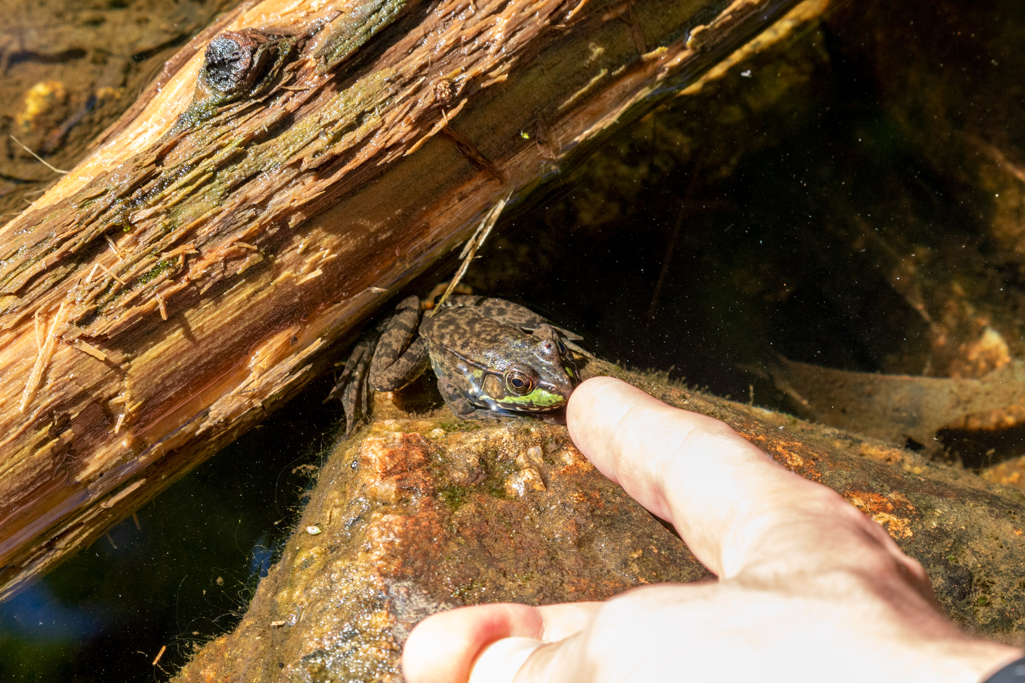 Frog sitting in shallow water beside a soggy log and being lightly booped by a finger