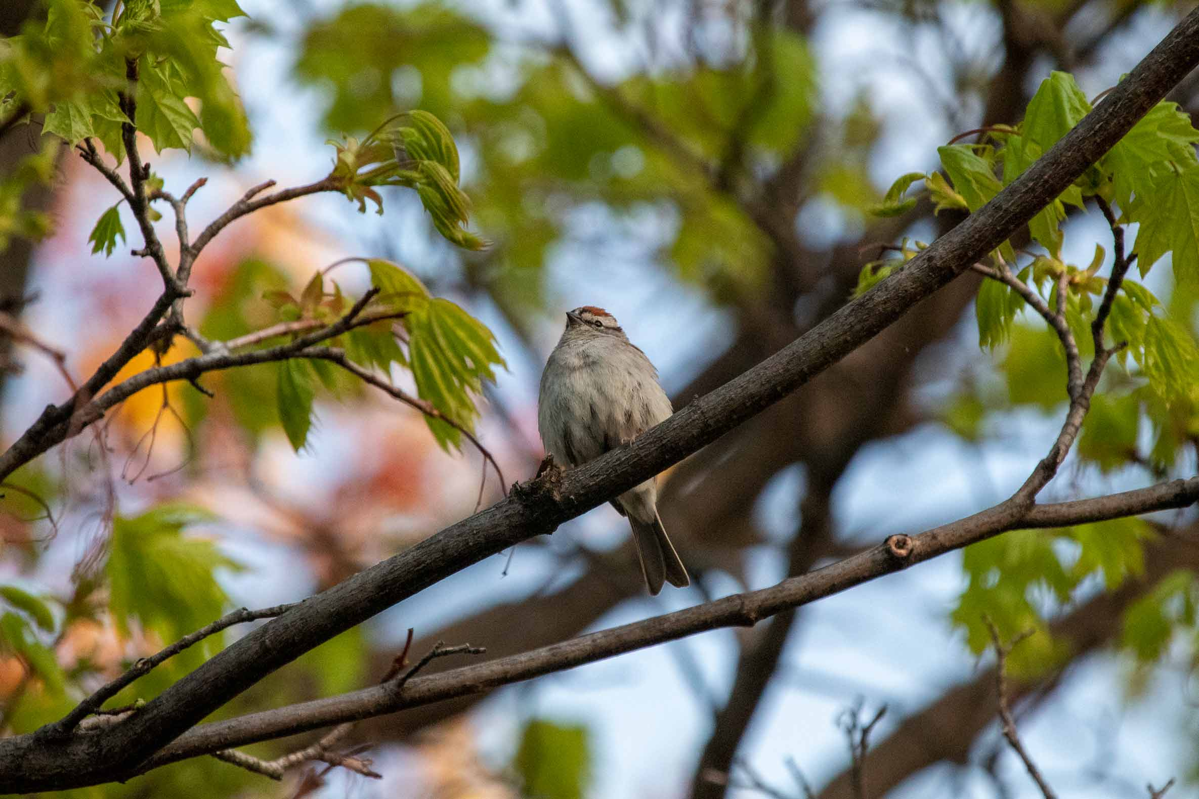 Sparrow sitting in a tree