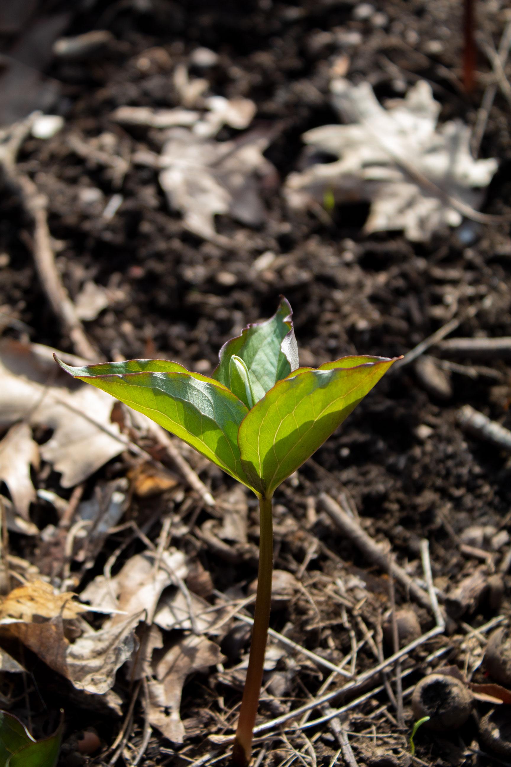Trilium on the forest floor