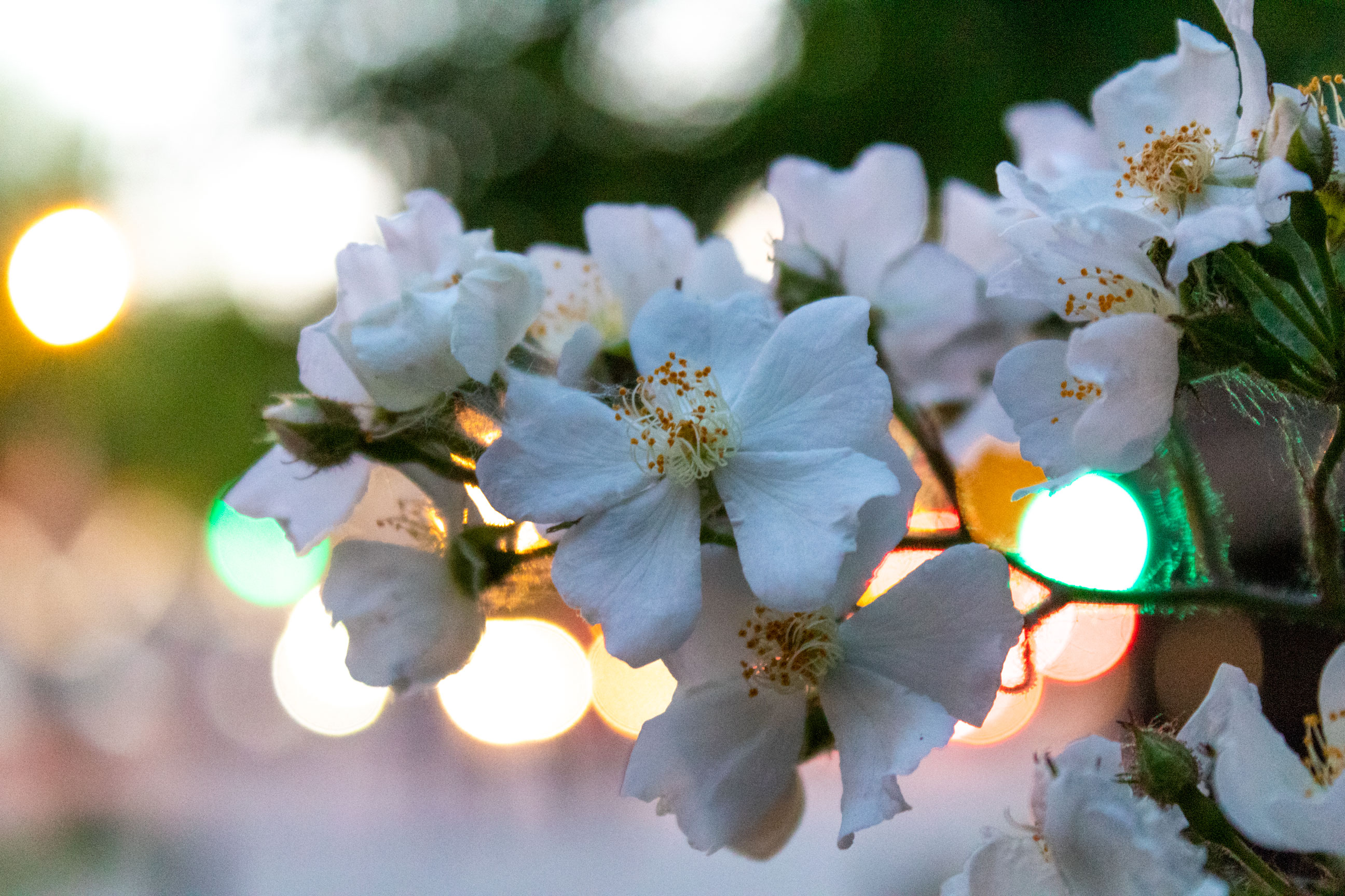 White flowers with splotches of colourful light behind them