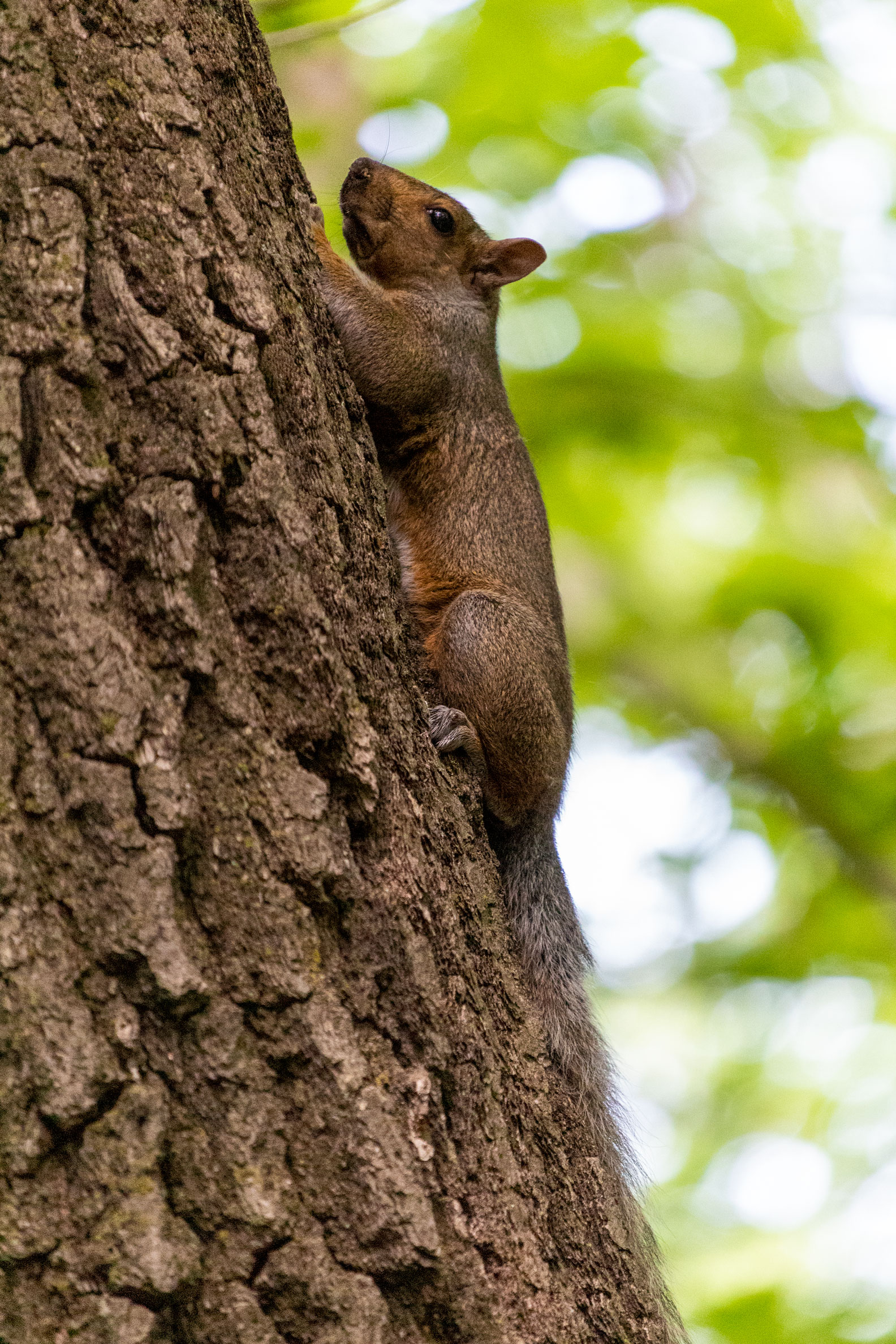 Squirrel clinging to the side of a tree looking thoroughly displeased