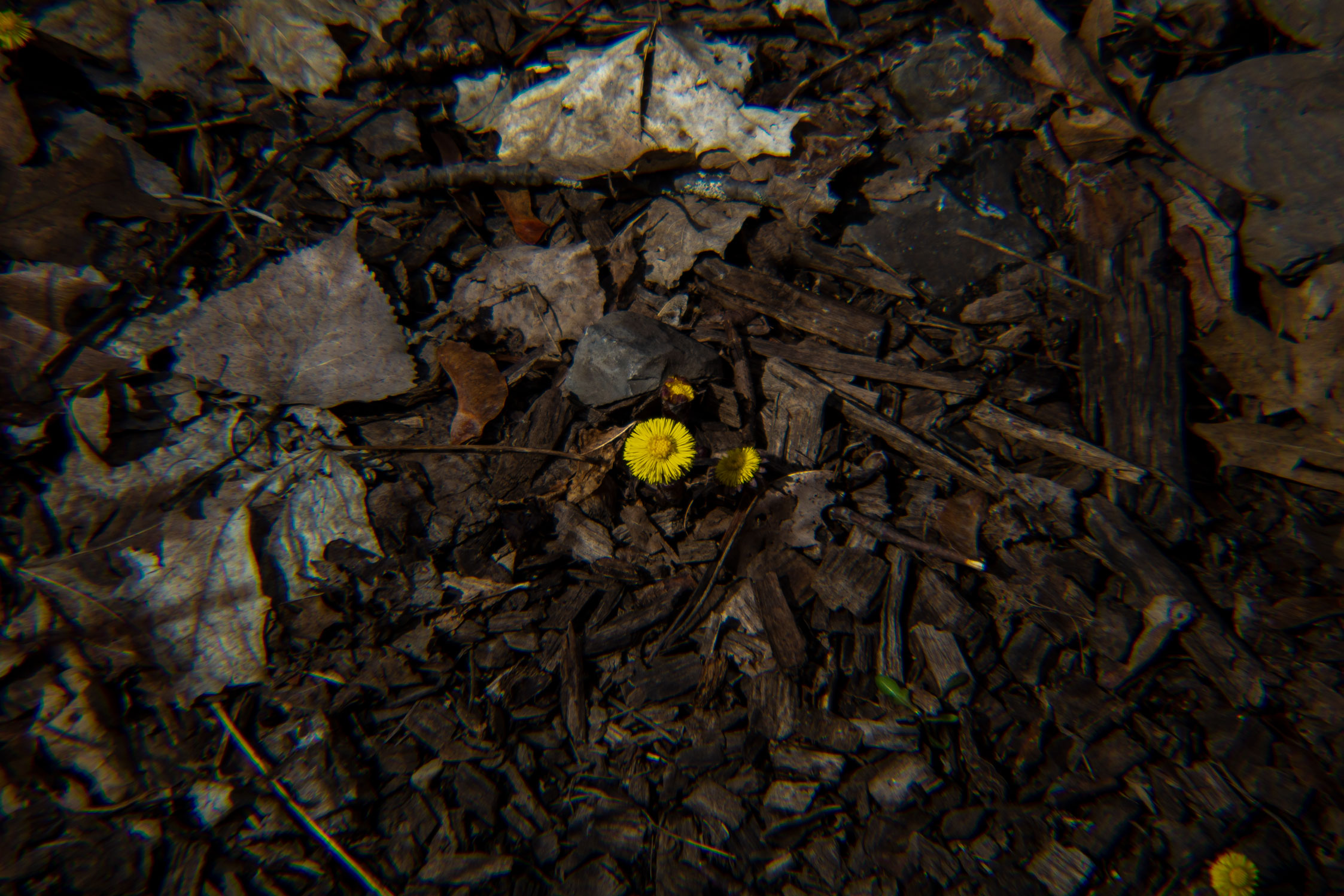 Small yellow flower on a dark dirt background