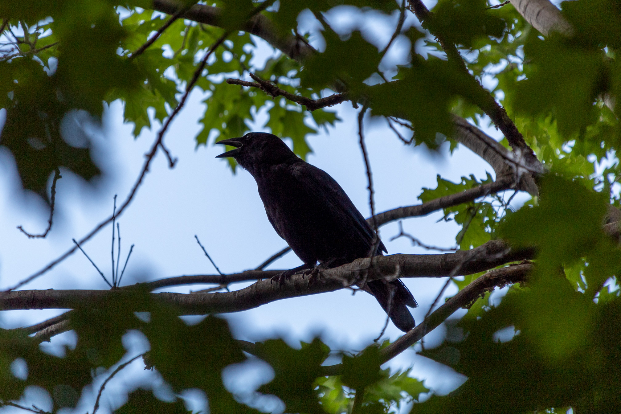 Crow cawing on a tree branch